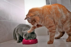 cats eating dinner