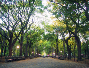 Elms in Central Park